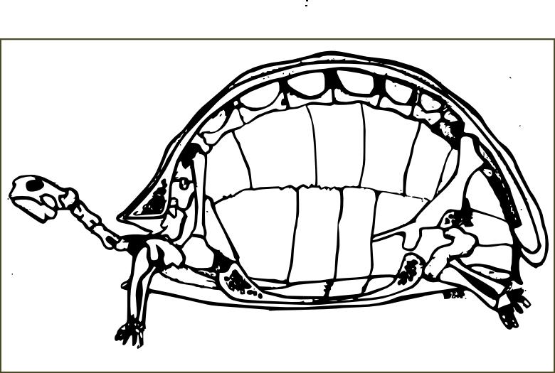Esqueletotortugaterrestrecroquis01600  Gopherus Berlandieri